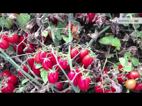il pomodoro: importante fonte di antiossidanti e alleato dell'organismo