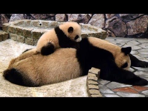 Liten panda väcker sin mamma