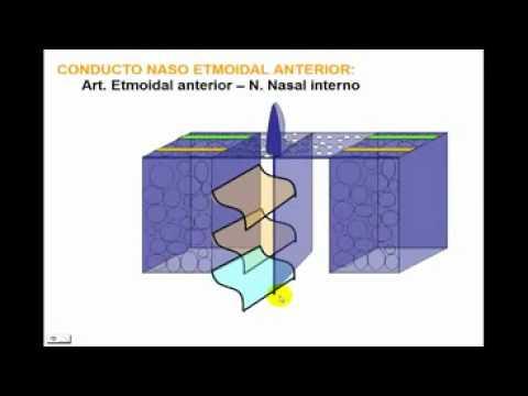 osteología del craneo parte n°5 hueso edmoides