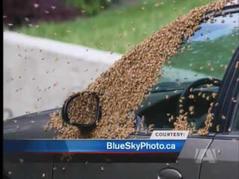 這女子的車子連續2天都被一整群的蜜蜂軍隊「佔領」,直到翻開後車廂她才傻眼看到真正的原因!