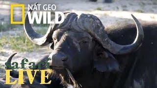 Safari Live - Day 115 | Nat Geo Wild by Nat Geo WILD
