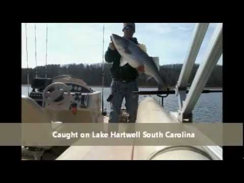 Fishing Report on Lake Hartwell  Sc Fishing Report   Current Fishing Conditions   Tips