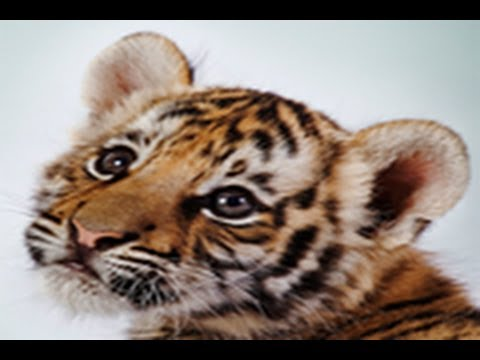 Video of Amazing Tigers Wallpapers