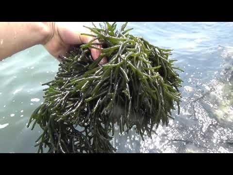 Bắt sinh vật lạ dưới đáy biển ai ngờ ăn ngon tuyệt - Thời lượng: 7 phút, 37 giây.