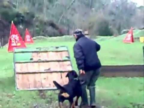 Nerina femmina di rottweiler in allenamento per prepararsi alle prove di lavoro in IPO 1-2-3