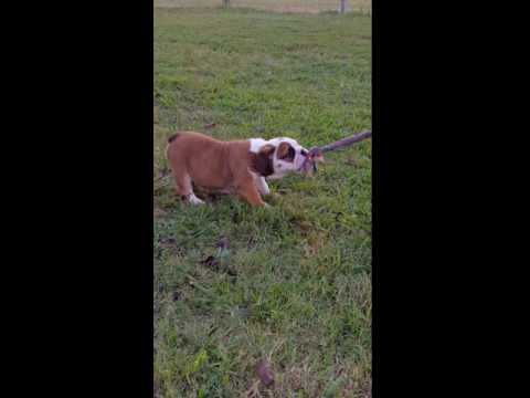 Sable playing tug of war with her human sister