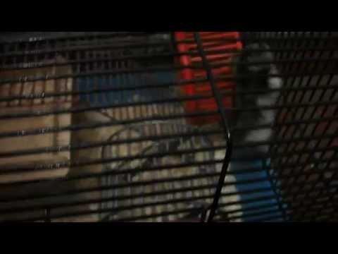 SWAT hamster (видео)