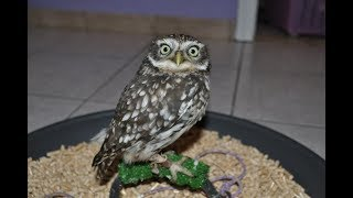 Let's talk about Yoshi, my little (burrowing) owl...