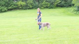 Abbie Trains a Wirehaired Griffon