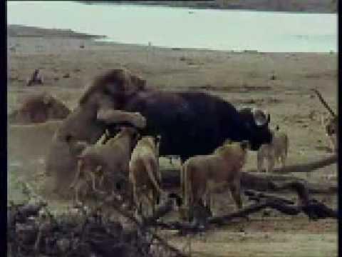 Leones Cazando Un Bufalo - Lions Hunting A Buffalo
