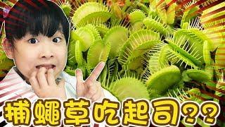 [閱覽注意]捕蠅草會吃起司??/Venus flytrap eat cheese??/食虫植物ハエトリソウはチーズを与えてみた[NyoNyoTV 妞妞TV] full download video download mp3 download music download