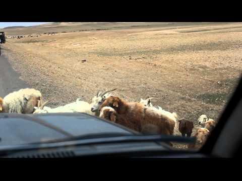 車路遇上羊,很可愛啊!可..