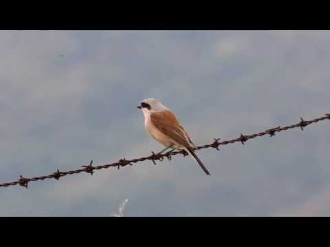 Red backed Shrike in our birding tour in Hungary