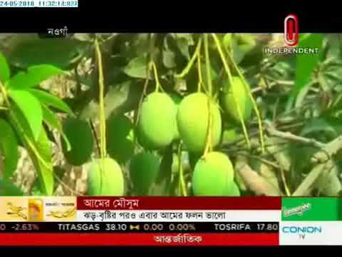 Mangoes harvest begins Friday in Naogaon (24-05-2018)