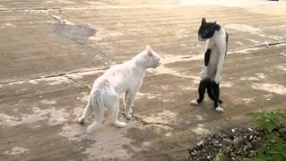 חתול קוברה