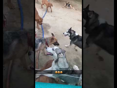 Bhola Shola Farm – French Mastiff – Husky – Shihtzu