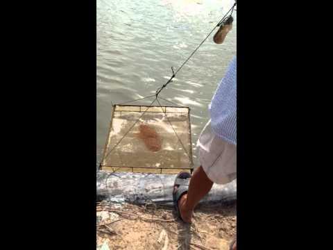Shrimp farming