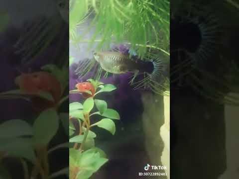 cận cảnh cá bảy màu đẻ - Thời lượng: 16 giây.