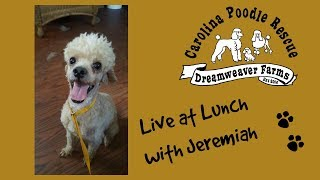 Jeremiah - In foster care in Rocky Mount NC - Poodle (Miniature) (long coat) Dog For Adoption