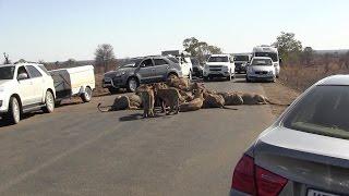 Львиный прайд устроил трапезу посреди трассы