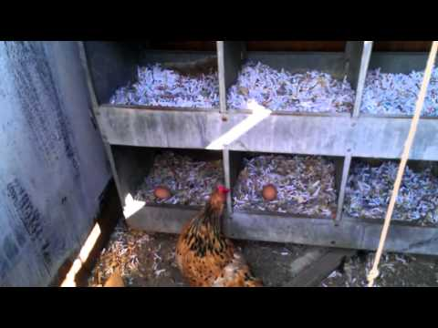 How to Raise Chickens Made Easy - Gathering Eggs - Mini Farm