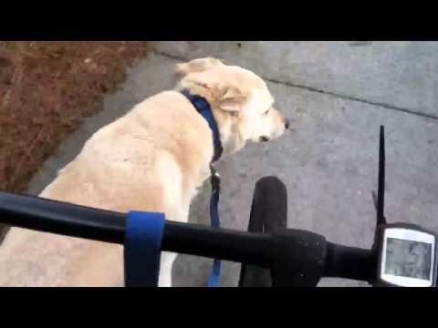 Lab Dog Riley running beside bike