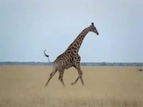 Running Giraffe in Botswana