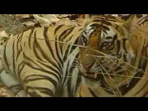 indian - A ban on hunting tigers in India was imposed in 1960, when it became clear that the tiger population was under threat from poachers. This edition of Born Wil...