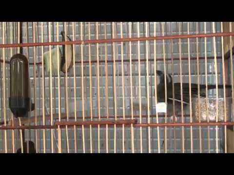 Galeria de Vídeos Trinca Ferro Buriti Carrasco Marcos Prolar