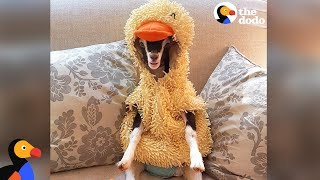 Anxious Goat Calms Down In Duck Costume: Cute Animals Halloween Compilation | The Dodo