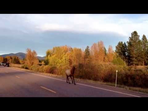 Motorcycle chased down highway by elk