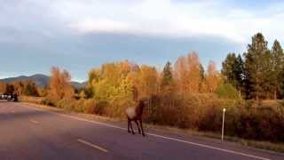 Only in Montana: Chased Down by an Elk