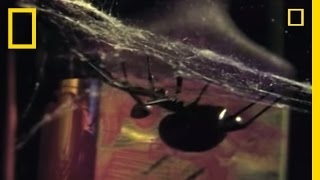 Deadliest Mates: Black Widow Spider