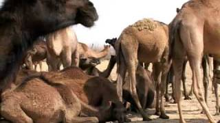 Bikaner India  City pictures : Camels in Village Near Bikaner India