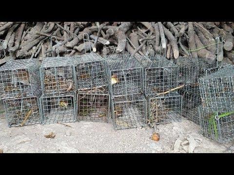 Bẫy ở khu vườn chuột, bị chuột nhai luôn cái bẫy. Kỳ đà xuất hiện tại vườn của Săn bắt SÓC TRĂNG - Thời lượng: 21 phút.