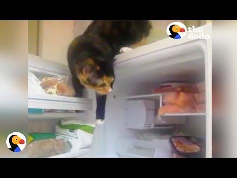 gatto-apre-il-frigo-e-sceglie-lo-spuntino