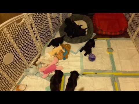 Puppies at play 4f and 3 boys