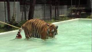 Tiger Kingdom In Chiang Mai Thailand