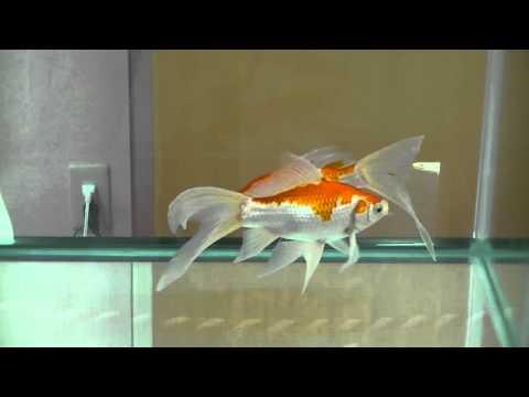 庄内金魚(しょうないきんぎょ)