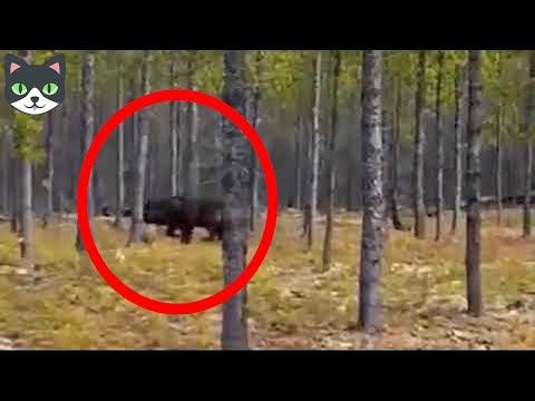 5 HOMBRES LOBOS CAPTADOS EN VIDEO - Hombres Lobos Vistos En La Vida Real (видео)
