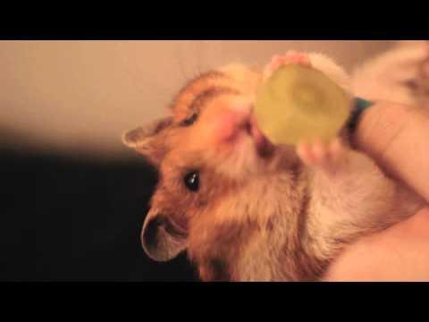 Hamster Eats a Grape Upside down