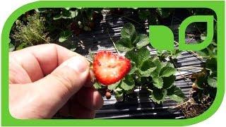 #423 Retrozüchtung bei den Erdbeeren