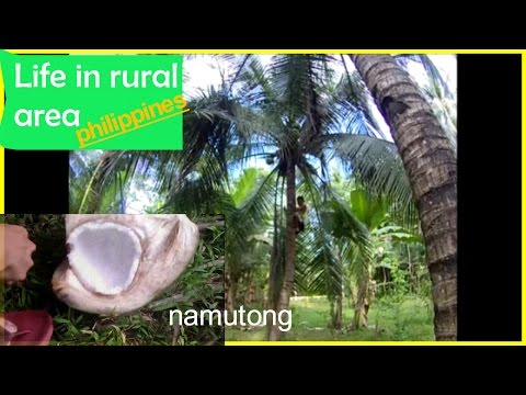 Life In The Rural Area, Our Province, Harvest Coconut #VLOG-| Helmz Jordan