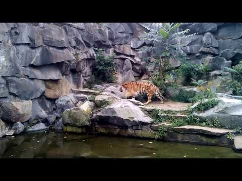 Sibirischer Tiger - Tierpark Berlin - September 2017  ...