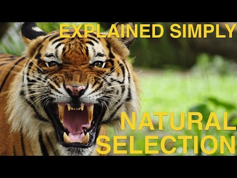 Natural Selection Explained Simply