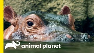 How Does A Hippo Torpedo Through The Water?!   How Do Animals Do That? by Animal Planet