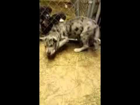 Merle pup am feeding. running a muck a muck a muck!!!