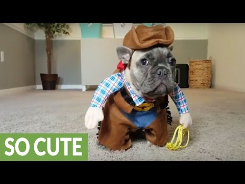 French Bulldog puppy dresses up like a cowboy