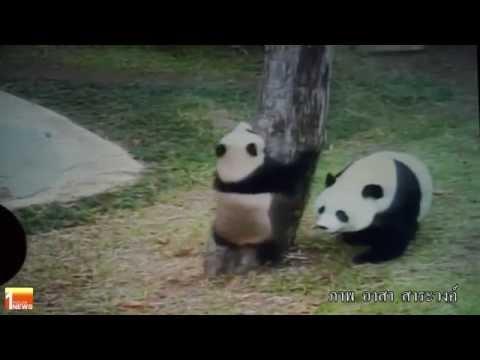 OMN: One Minute News EP.41 ลงนามความร่วมมือในการอนุรักษ์หมีเเพนด้าระหว่างไทยเเละจีน