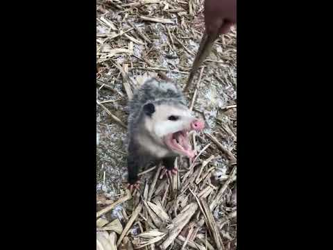 Crazy guy pets a wild possum